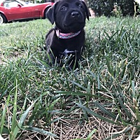 Labrador Retriever Mix Puppy for adoption in oklahoma city, Oklahoma - Piper