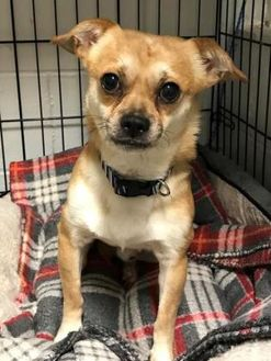 Chihuahua Mix Dog for adoption in Wellsville, New York - Moe