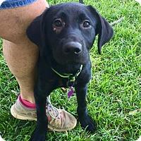 Adopt A Pet :: Chibbs - Berkeley Heights, NJ