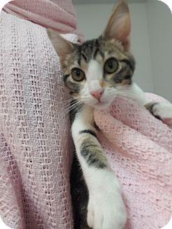 Domestic Shorthair Kitten for adoption in Hawk Point, Missouri - Chirp