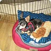 Adopt A Pet :: Taco - West Bloomfield, MI
