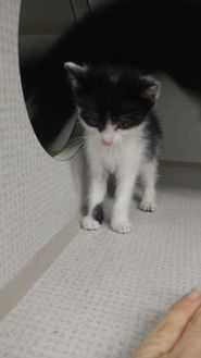 Domestic Shorthair/Domestic Shorthair Mix Cat for adoption in Graham, Texas - PATSY
