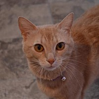 Adopt A Pet :: Patty-Cat - Brownsboro, AL