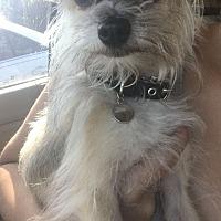 Adopt A Pet :: LIVIA - Seattle, WA