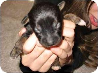 Parson Russell Terrier Mix Puppy for adoption in Fredericksburg, Virginia - Cher