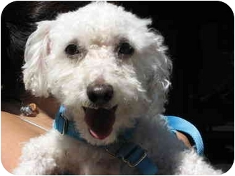 Poodle (Miniature) Dog for adoption in Long Beach, New York - Cotton