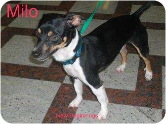 Chihuahua Mix Dog for adoption in Niceville, Florida - Milo
