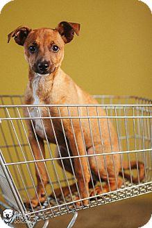 Fox Terrier (Smooth)/Miniature Pinscher Mix Puppy for adoption in Portland, Oregon - Rikky