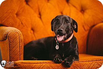 Labrador Retriever/Dachshund Mix Puppy for adoption in Portland, Oregon - Tonka