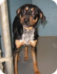 Beagle/Australian Cattle Dog Mix Dog for adoption in Stillwater, Oklahoma - Peyton