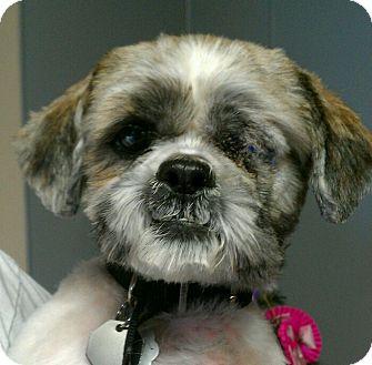 Shih Tzu Dog for adoption in Urbana, Ohio - Bentley