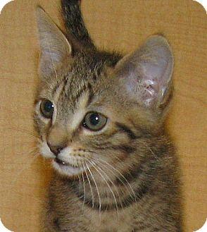 Domestic Shorthair Kitten for adoption in Tulsa, Oklahoma - Twix