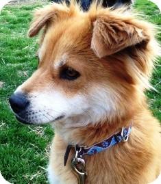 Sheltie, Shetland Sheepdog/Shiba Inu Mix Dog for adoption in Osseo, Minnesota - Ellie
