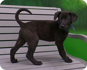 Labrador Retriever/Golden Retriever Mix Puppy for adoption in CHICAGO, Illinois - JASPER