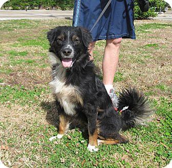 Australian Shepherd Mix Dog for adoption in Kingwood, Texas - Tosh