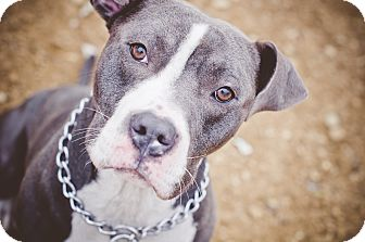 Pit Bull Terrier Dog for adoption in South Park, Pennsylvania - Ricco