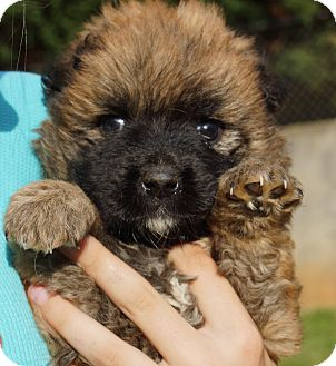 Shih Tzu/Poodle (Toy or Tea Cup) Mix Puppy for adoption in Newark, Delaware - Ella