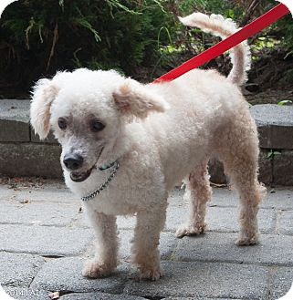 Poodle (Miniature)/Bichon Frise Mix Dog for adoption in Loudonville, New York - Avery