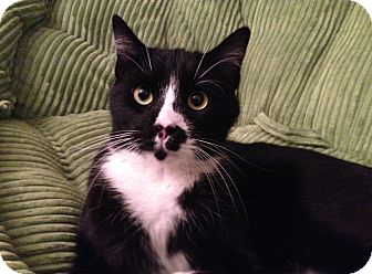 Domestic Mediumhair Cat for adoption in Richmond, Virginia - Oreo (courtesy listing)