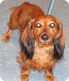 Dachshund Dog for adoption in Orlando, Florida - Harriet
