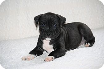 Boston Terrier/Boxer Mix Puppy for adoption in West Milford, New Jersey - MARCIE