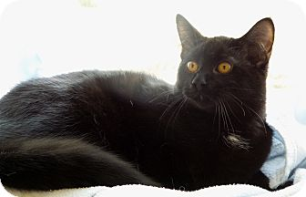 Domestic Shorthair Cat for adoption in Chambersburg, Pennsylvania - Tracy