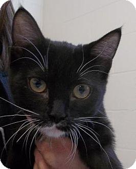 Domestic Shorthair Kitten for adoption in Rapid City, South Dakota - Diamond