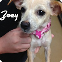Adopt A Pet :: Chihuahua Puppies - Brattleboro, VT