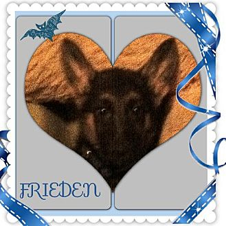 German Shepherd Dog Puppy for adoption in Memphis, Tennessee - Frieden = Peace