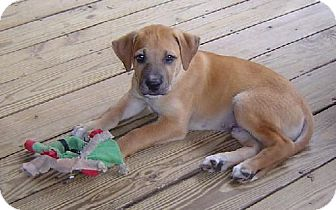 Boxer/Black Mouth Cur Mix Puppy for adoption in Grand Saline, Texas - Jimmy