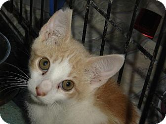 Domestic Shorthair Kitten for adoption in Island Heights, New Jersey - Frick