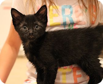 Domestic Shorthair Kitten for adoption in Carlisle, Pennsylvania - Norman