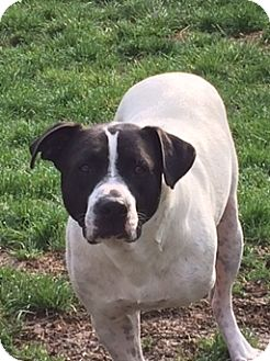 American Bulldog Mix Dog for adoption in Saint Louis, Missouri - Corvus