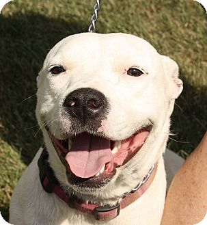 Pit Bull Terrier Mix Dog for adoption in Jackson, Michigan - Roxanne