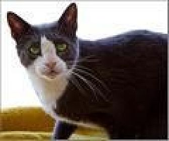 Domestic Shorthair Cat for adoption in Freeport, New York - Kong