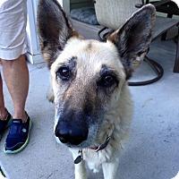 Adopt A Pet :: Inga - Denver, CO