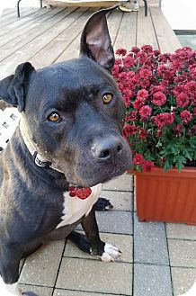American Staffordshire Terrier/American Pit Bull Terrier Mix Dog for adoption in Chicago, Illinois - Autumn