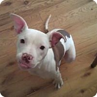 Adopt A Pet :: Piglet - Frankfort, IL