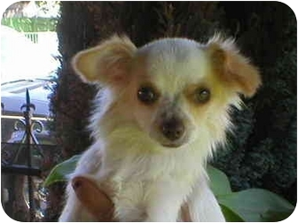 Chihuahua Puppy for adoption in Poway, California - Teddy