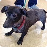 Adopt A Pet :: Blue - Humble, TX