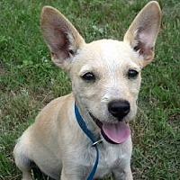 Jack Russell Terrier/Chihuahua Mix Dog for adoption in Tyler, Texas - AA-Dax