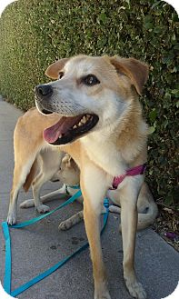 Labrador Retriever/Jindo Mix Dog for adoption in La Mirada, California - BRODY (a brother of LOKI)