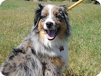 Australian Shepherd Mix Dog for adoption in Ridgway, Colorado - Smokey