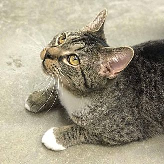 Domestic Shorthair Cat for adoption in Simpsonville, South Carolina - Eendy