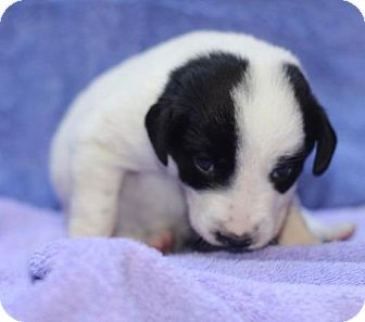 Beagle Mix Dog for adoption in Chantilly, Virginia - Tulip Pup Tallie