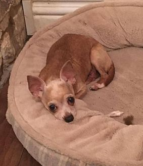 Chihuahua Mix Dog for adoption in Boerne, Texas - Sangria