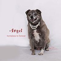 Adopt A Pet :: Angel - Sherman Oaks, CA