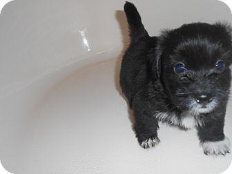 Shih Tzu Mix Puppy for adoption in Chandler, Arizona - Mississippi Mud Pie