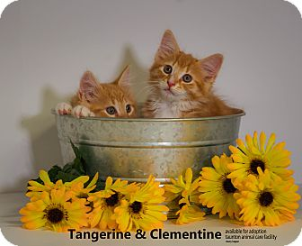 Domestic Shorthair Kitten for adoption in Brockton, Massachusetts - Tangerine & Clementine