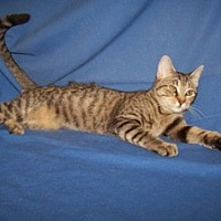 Adopt A Pet :: Julie - Colorado Springs, CO